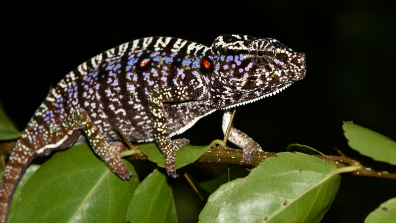 This photos taken on Thursday, March 12, 2020 and provide by the Staatliche Naturwissenschftliche Sammlung Bayerns, SNSB, shows a Voeltzkow-Chameleon in Madagascar. Scientists say they have found an elusive chameleon species that was last spotted in Madagascar 100 years ago. (SNSB/Frank Glaw via AP)