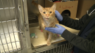 Gulliver the cat is recovering at the Ottawa Humane Society after undergoing surgery on Oct. 19 for a jaw wound.