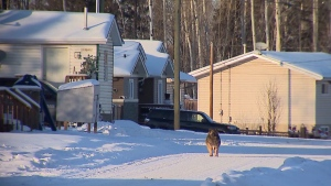 Alberta's First Nations face the highest rate of confirmed cases in the country. Officials and experts say the wave of cases came earlier to the province. As well, access to urban centres like Edmonton and Calgary is contributing to spreading to Indigenous reserves.