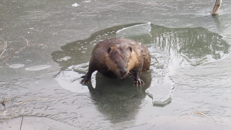 A screenshot shows the triumphant moment a beaver burst through an ice-covered Saskatoon pond. (Mike Digout)