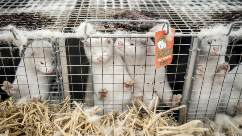 Denmark has ordered the slaughter of all of the country's minks, estimated at up to 17 million. (AFP)