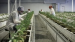 Employees tend to marijuana plants at the Aurora Cannabis Inc. facility in Edmonton on Tuesday, March 6, 2018. (Jason Franson/Bloomberg/Getty Images/CNN)