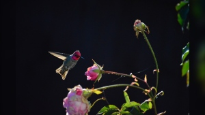 A male Anna's hummingbird about to drink water from the last of the rose petals in November 2020. (Leanne Mallon / submitted)