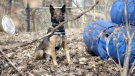 Major the cadaver dog has helped investigators with over a hundred cases. (W5)