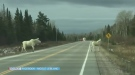 The reward is climbing for information on whomever illegally shot and killed a rare white moose in the Foleyet area. Lydia Chubak reports.