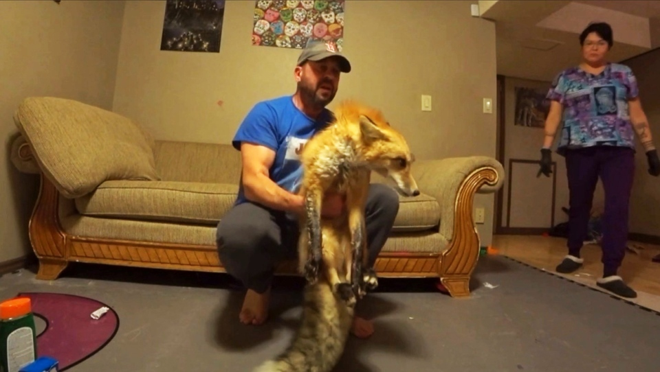 Ryan First Diver, an ecological consultant, with Foxy, a red fox that was struck by a vehicle Nov. 10
