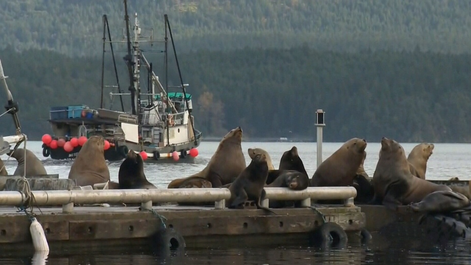 Hundreds of sea lions flock to Cowichan Bay