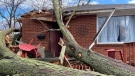 A tree damaged a house after a wind storm ripped through Kingsville. Ont., on Sunday, Nov. 15, 2020. (Courtesy Allison Stead)