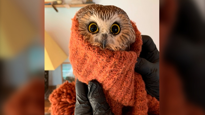 In this photo provided by the Ravensbeard Wildlife Center, Ravensbeard Director and founder Ellen Kalish holds a Saw-whet owl at the center in Saugerties, N.Y., Wednesday, Nov. 18, 2020. (Lindsay Possumato/Ravensbeard Wildlife Center via AP)