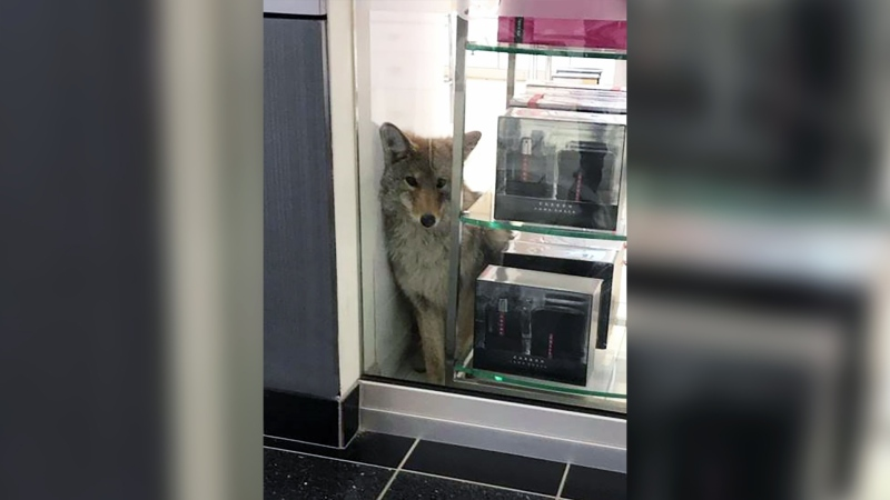 A coyote went looking for deals at a Grande Prairie Shoppers Drug Mart on Nov. 18. (Courtesy: Shoppers Drug Mart)