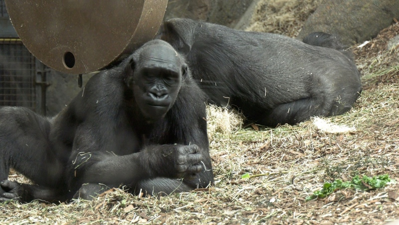 Two of the Caglary Zoos western lowland gorillas finding treats in their enclosure Thursday