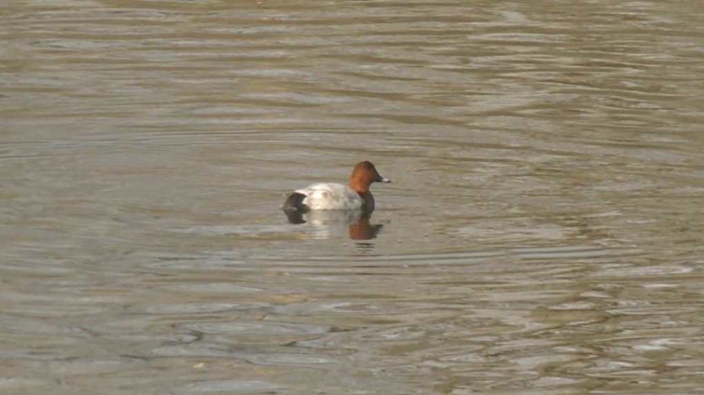 common pochard rare bird duck