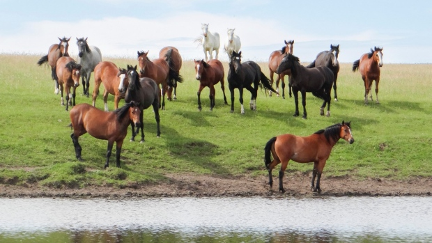 A herd of horses is seen in the Cooper Clan Buckin' Horse Company's pasture. (Courtesy: Ash Cooper)
