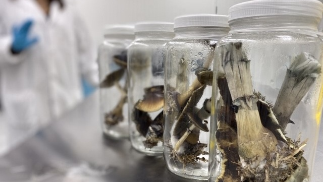 Psychedelic mushrooms with psilocybin shown in a lab. Photo: Numinus