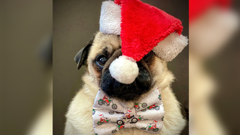 Zombie Pug, all ready for the holidays!
