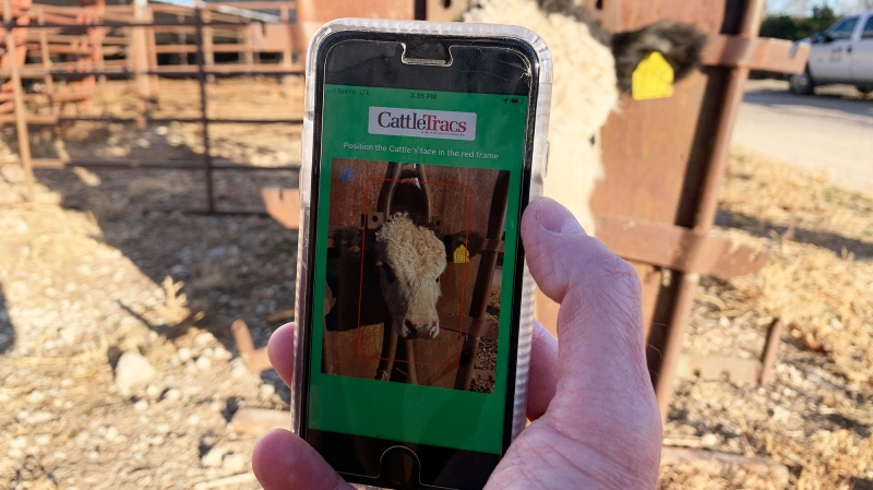 CattleTracs, an upcoming app for monitoring cattle, uses facial recognition technology to tell the animals apart. (CattleTracs/CNN)