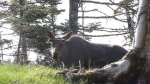 Quebec First Nations say there's a decline in the moose population that's putting their communities at risk.