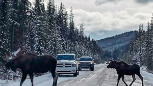 Parks Canada: Don't let moose lick your car