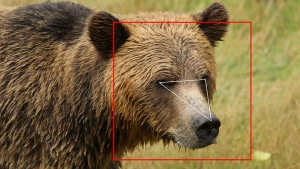 Using the BearID software, grizzly bear faces and facial landmarks are detected and used for facial recognition. (Melanie Clapham)