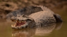 An alligator remains idling at the Encontro das Aguas park at the Pantanal wetlands near Pocone, Mato Grosso state, Brazil, Saturday, Sept. 12, 2020. (AP Photo/Andre Penner)