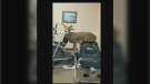 Manitoba RCMP were called to remove a deer with one antler that broke into a retirement home in Selkirk, Man. (Manitoba RCMP video screenshot)