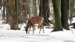 Plans move forward with Longueuil deer cull