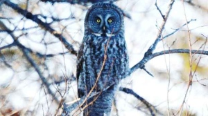 We hired a Great Grey Owl to do some mousing out here on Pinawa Bay. Photo by Stan Kelly.