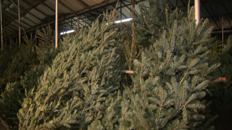 Hundreds of fresh Christmas trees have arrived at Golden Acre. We have tips on making your tree last through the holidays