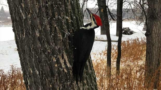 Woodpeckers visiting Fraser's Grove Park. Photo by Abby Sierhuis.