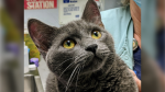 Geiger underwent surgery after being seriously injured from a home neutering attempt. (SPCA)