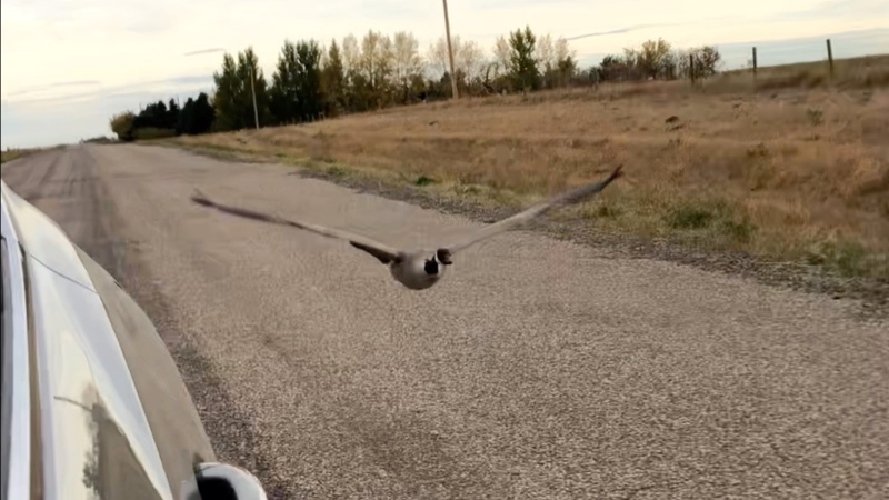 Goose Goose is seen flying next to a vehicle. (Photo submitted)
