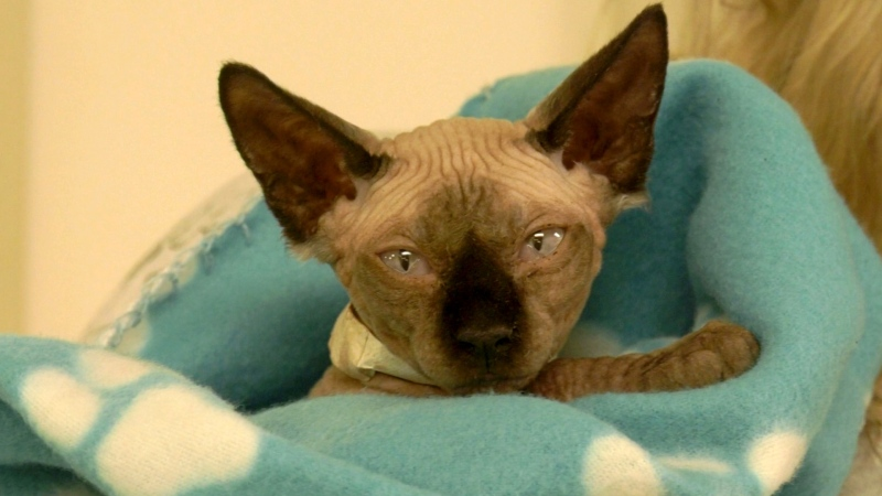 The Alberta Sphynx and Lykoi Rescue Society is helping 20 exotic felines rescued from a home near Edmonton. (Courtesy Alberta Sphynx and Lykoi Rescue Society)