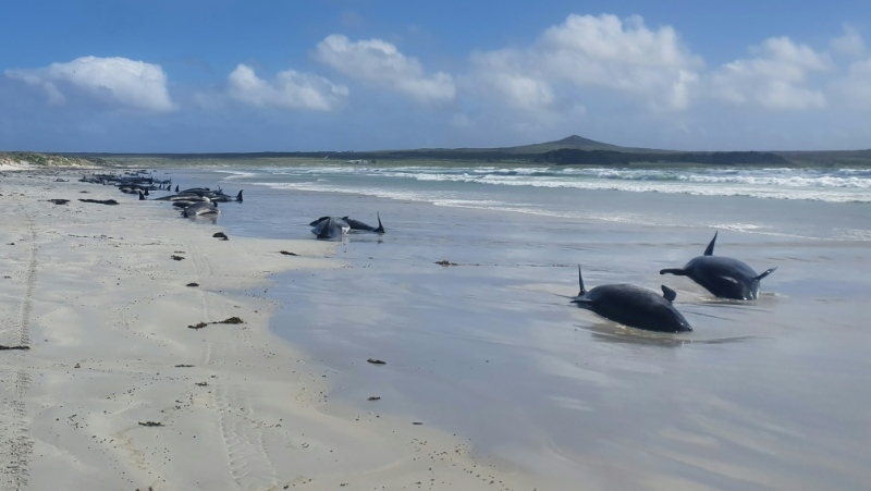 Department biodiversity ranger Jemma Welch said 69 whales had already died by the time wildlife officers reached the beach. (AFP)