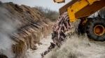 Disposing of dead mink in a military area near Holstebro, Denmark, on Nov. 9, 2020. (Morten Stricker / Ritzau Scanpix via AP)