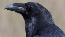 The raven Kola is missing from the Ecomuseum Zoo on Montreal's West Island, and staff fear he was stolen after a break-and-entering. SOURCE: Ecomuseum