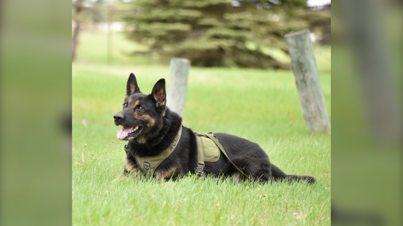 Earl, a RCMP dog, was recently called to track an injured driver that left the scene of a two-vehicle crash (Source: Manitoba RCMP)