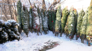Christmas trees on sale at at Wilson's Greenhouse in Saskatoon. (Chad Hills/CTV Saskatoon)