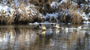 Flocks of mergansers have been hanging around the river (Nation) in our backyard lately. (Marcel Lafontaine/CTV Viewer)
