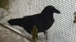 Ecomuseum pleads for raven's return