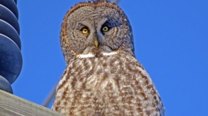 Amazing owl shot in Pinawa. Photo by Brian Morash.