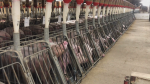 Pigs can be seen at Arnold Barn where undercover footage was captured. (W5)