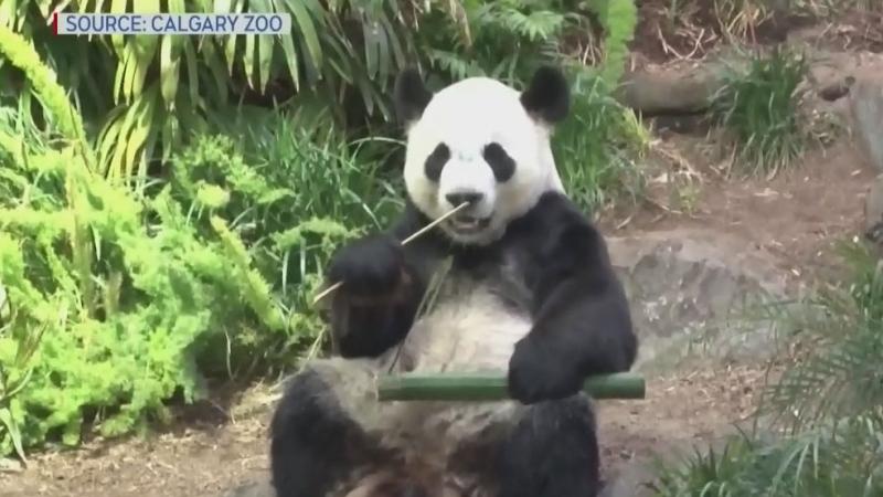 Farewell to Calgary's pandas