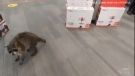 Customers in a Toronto Best Buy were surprised to see a raccoon wandering around the aisles.