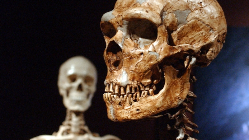 A Neanderthal skeleton (right) and a modern human version (left) at the American Museum of Natural History in New York. (Frank Franklin II/AP via CNN)