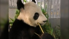 The Pandas leaving the Calgary Zoo have safely landed in Frankfurt on their way home to China (The Calgary Zoo)