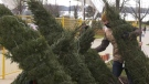 A man arranges trees for the Noella Christmas tree and wreath sale in Barrie, Ont. on Sat. Nov. 12, 2020 (Steve Mansbridge/CTV News)