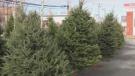 Christmas tree lot
