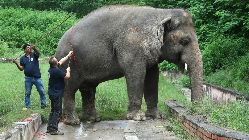 Dubbed the world's loneliest elephant by the press, Kaavan was the only Asian elephant in Pakistan. (AFP)