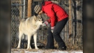 Angie Birch, sanctuary volunteer, greets Wolfdog Rue as she goes through her daily chores at the Yamnuska Wolfdog Sanctuary, Cochrane Alberta on Monday, Nov. 23, 2020. (THE CANADIAN PRESS/Dave Chidley)
