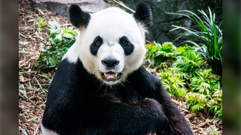 Da Mao (pictured) and Er Shun have arrived at the Chonqing Zoo in Chengdu, China after their stay at the Calgary Zoo was cut short (supplied: Calgary Zoo)